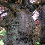 Une race d'arbre très rare....